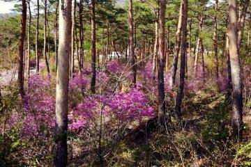 <p>Цветение повсюду! Это весна пришла в Яманаси...</p>