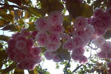 <p>Долгожданная весна в горах Яманаси</p>