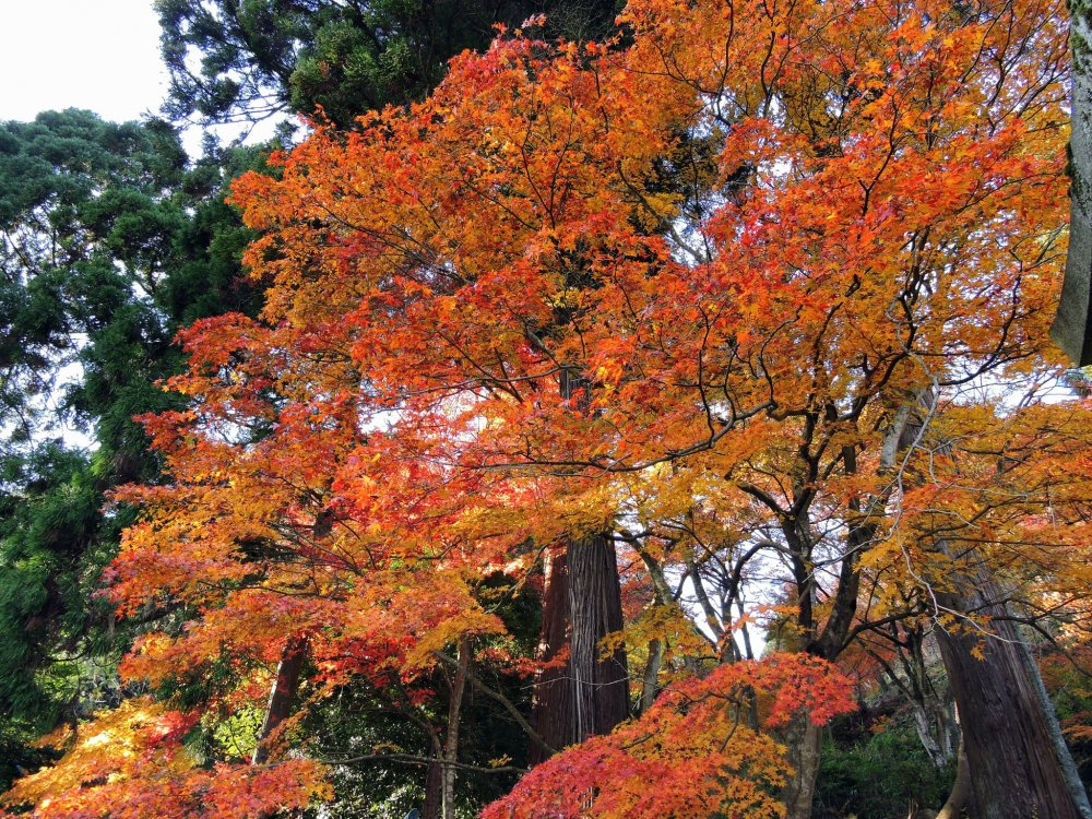 Gorgeous orange autumn leaves on the grounds of Okafuto Shrine