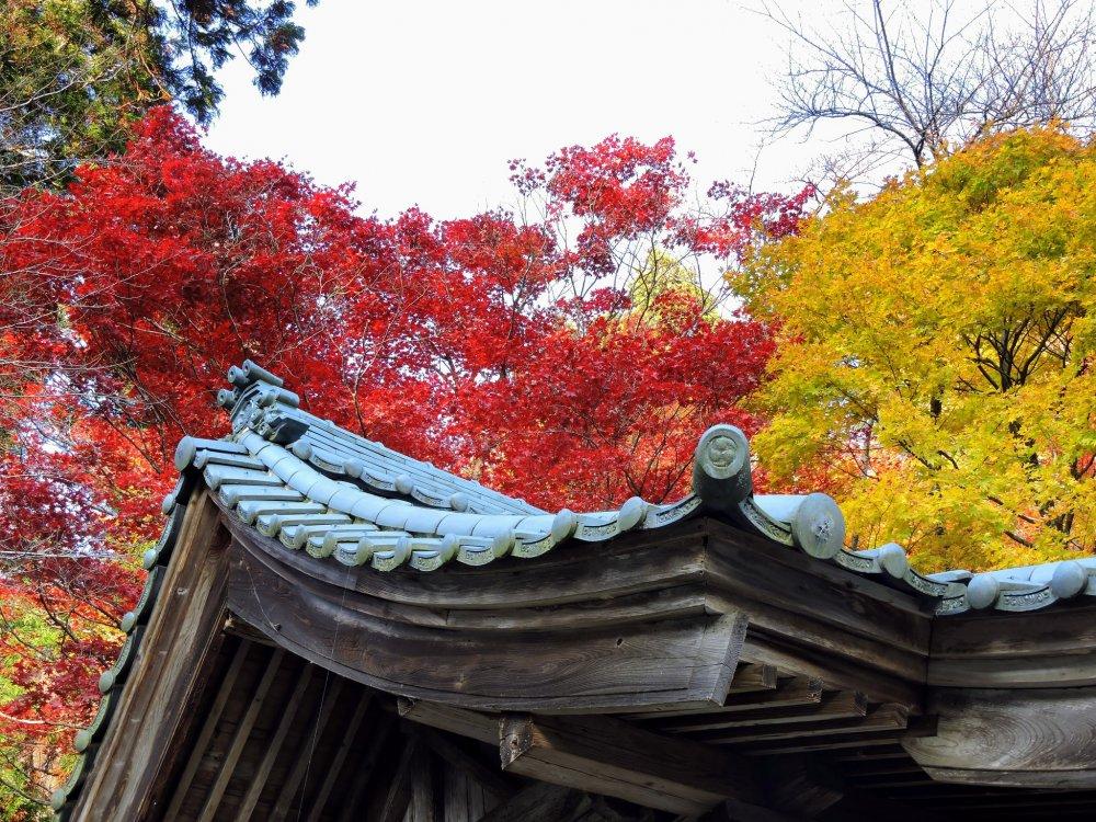 Telhado do Santuário Izumo Taisha com belas folhas de bordo vermelhas e amarelas no fundo