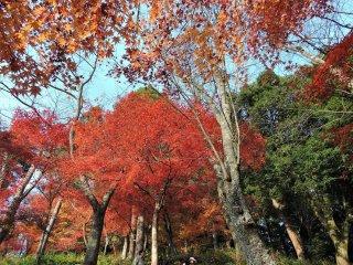 青空に映える鮮やかな紅葉