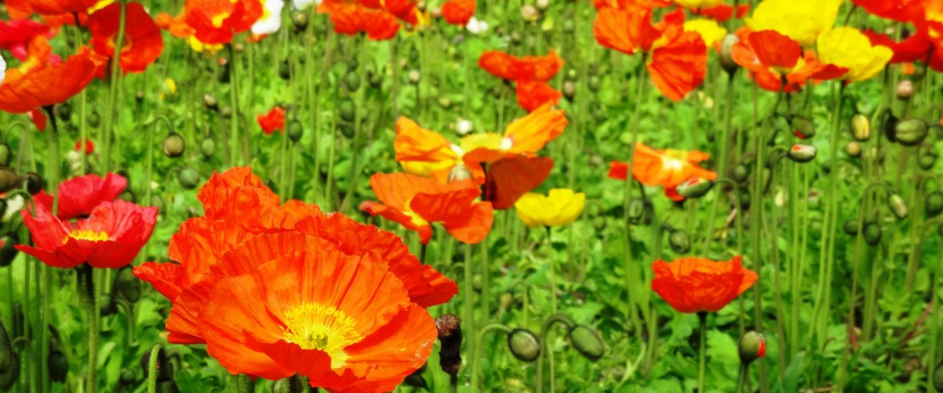 A field of poppies at the Flower Park Kagoshima