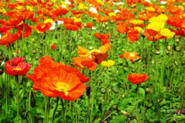 <p>A field of poppies at the Flower Park Kagoshima</p>