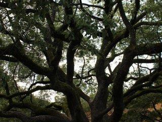 御苑内にはこのような樹齢100年を超える老木が何本も立っている