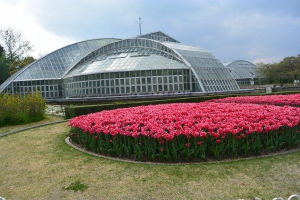 Hamparan tulip merah di depan rumah kaca