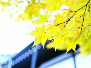 Rare yellow maple leaves! They look so refreshing among red and vermilion leaves.