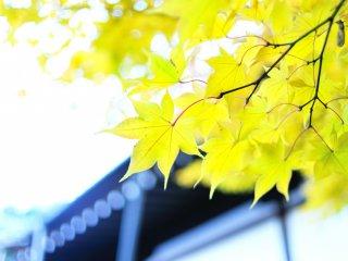 珍しい黄葉!赤と朱にあってとても新鮮