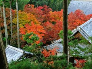 境内山上に登る途中から見おろす。伽藍の間を見事な紅葉が埋め尽くす