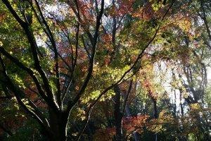 Momiji di Izumi Nature Park, Chiba