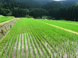It's an impressive sight to see the newly planted rice in perfect rows