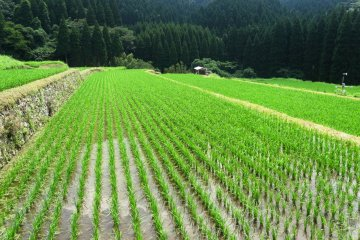 <p>It&#39;s an impressive sight to see the newly planted rice in perfect rows</p>