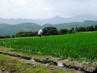 Local farmers can often be found working in their individual paddies
