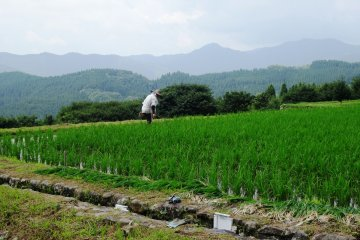 <p>Local farmers can often be found working in their individual paddies</p>