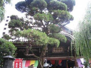 Красивое дерево, растущее на территории храма.