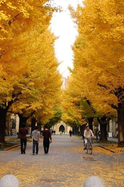 Deretan pohon Ginkgo sepanjang jalan dari gerbang kampus hingga ke Yasuda-hall