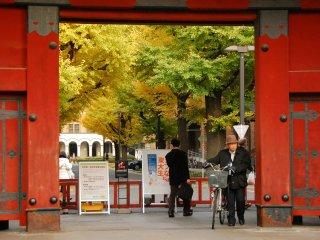 Pohon-pohon Ginkgo di sekitar Red Gate Universitas Tokyo