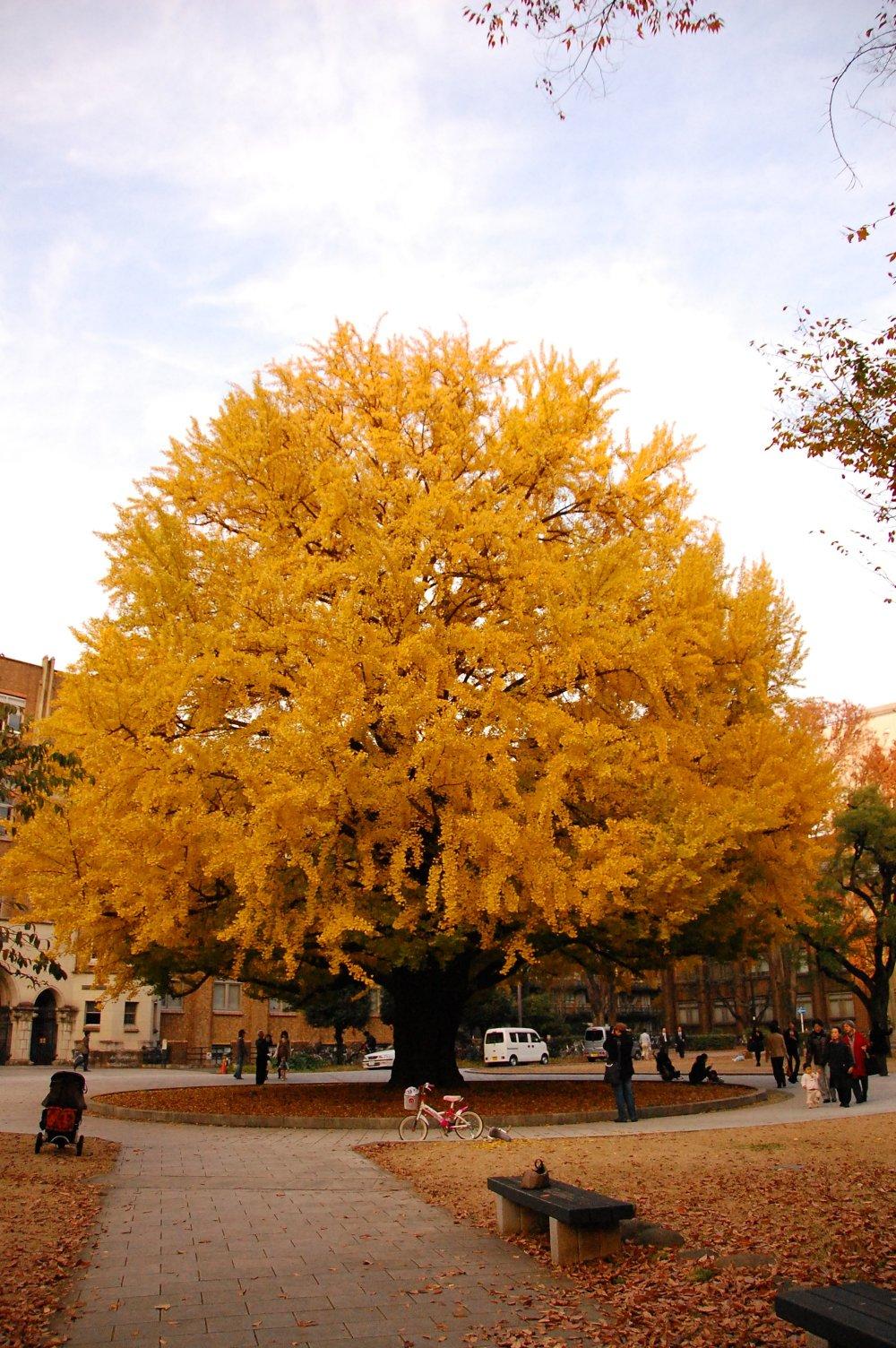 Pohon Ginkgo besar di depan salah satu gedung Teknik