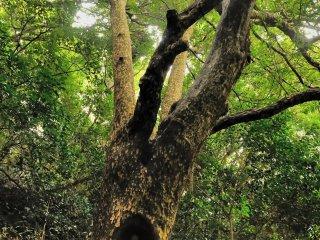 ご覧の通り、地蔵を彫られた木は成長を続けている!とても珍しい地蔵だ