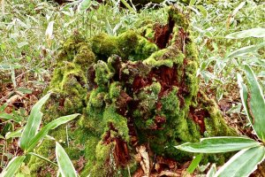 The marshland is a high moor (1390-1400 m above sea level) and you can often observe bog moss covering trees and wood.