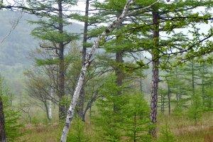 White birch and pine.