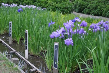 Each of the Irises is labeled