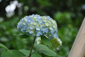 The Garden also has Ajisai!!