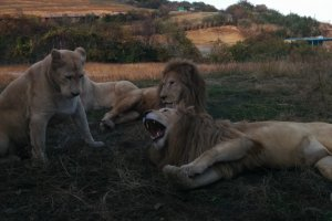 The majestic, yet dangerous, white lions