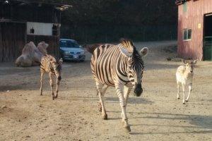 Zebras on the go