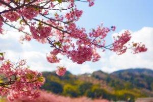 河津桜の花びらは、濃いピンク色をしている