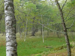 I was pleased to find plenty of my favorite tree, the white birch