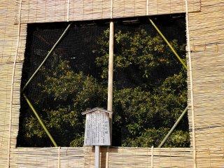 Uma laranjeira japonesa protegida por várias telas