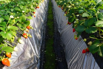 <p>Strawberry paths are narrow and sometimes slippery. Proceed with caution!</p>