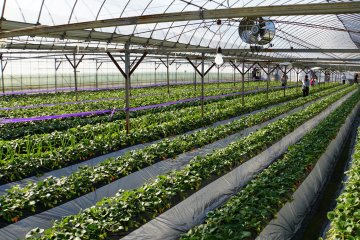 <p>A view from inside the strawberry greenhouse.</p>
