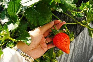 <p>I hit the strawberry jackpot here! So sweet and Berrylicious!</p>
