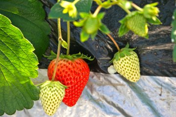 <p>Please be gentle when reaching for the ripe strawberry. Be mindful of the young fruit.</p>