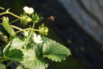 <p>This honeybee is off to another flower!</p>