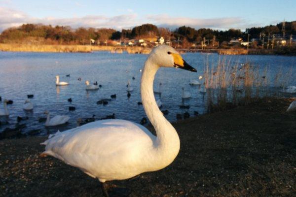 Встреча с красивым белым лебедем