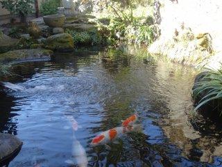 Un magnifique étang de carpes sur les lieux