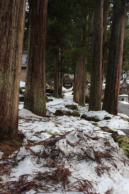 通用門前の杉木立。樹齢100年をゆうに超える