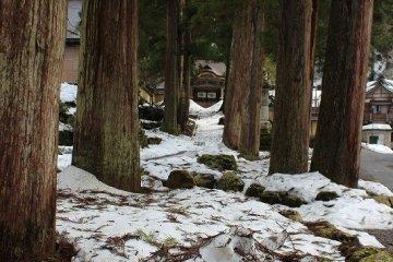 통용문 삼목나무 숲. 수령100년을 훌쩍넘