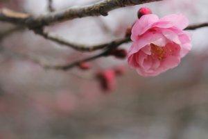 A brand new plum blossom