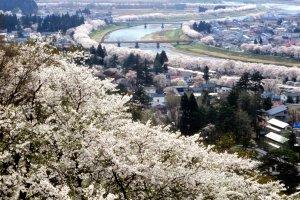 ソメイヨシノの4月の景色。町全体を通して多くのソメイヨシノが花開く。