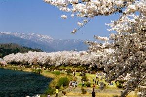 川沿いに咲く満開のソメイヨシノは花見をするのに最高である。