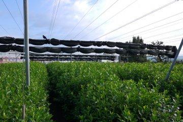 <p>Чайная плантация в сельской местности в Удзи</p>