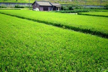 <p>На этом рисовом поле в августе уже сформировались головки с зернами</p>