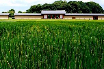 <p>Вид стены реконструированного замка Хэйдзё в Нара, возвышающейся из-за рисового поля</p>