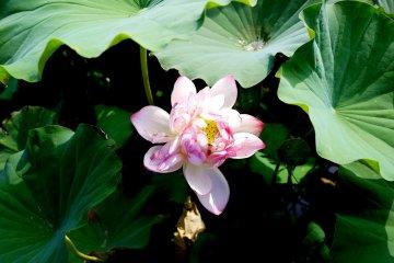 <p>Урожай лотоса потребляется в пищу (едят корешки) и в сентября они цветут по всему Удзи</p>
