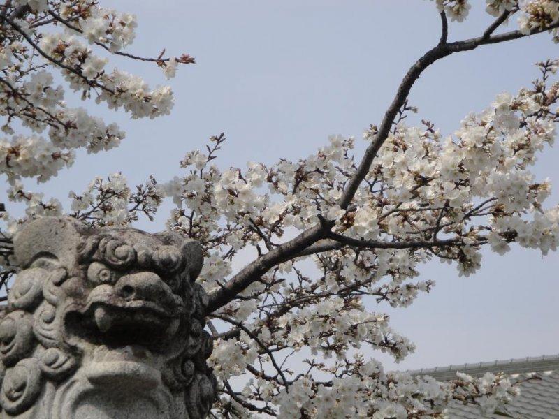 Guardian lion and sakura, near the Zen temple