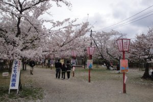 Sakura Path in Castle Grounds