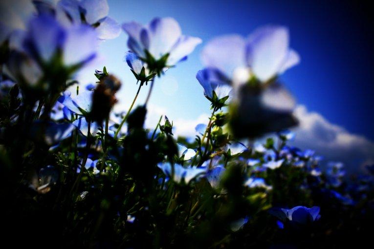 Hoa mắt xanh ở công viên Hitachi
